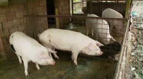 Alertă: În plin sezon de tăiere a porcilor, un nou focar de pestă în Dâmbovița