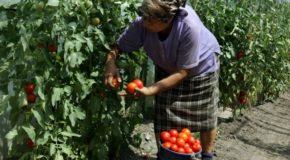 Direcția Agricolă Dâmbovița, la bilanț. Numărul producătorilor agricoli înscriși în Programul de tomate a crescut cu 450% față de anii trecuți