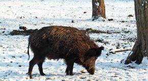 Pesta Porcină Africană depistată la un porc mistret, găsit mort pe un fond de vânătoare din Butimanu